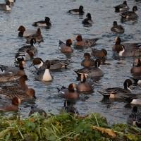 安曇野の御宝殿遊水池で野鳥鳥インフル?心配ですね