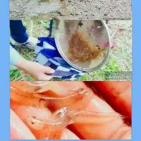 能登の「イサザ」伝統漁と 産卵に上る清流を未来へ