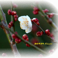 花彩る 一足早い梅