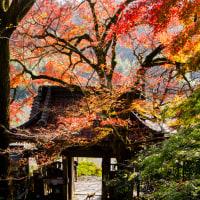 2016富貴寺の色づくイチョウ  2 (ニャンコも秋の日差しが恋しくて) 《大分県豊後高田市田染蕗》