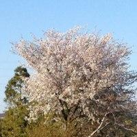 桜? 満開