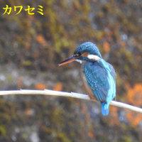 2017/02/19 芋谷にカワセミ2羽