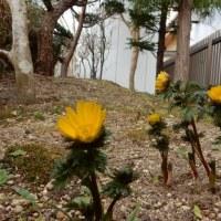 福寿草と春の球根植物