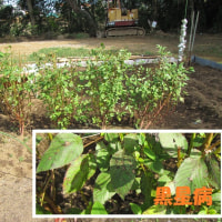 10月23日・葉物野菜などを播種しました!