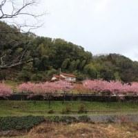雲南市大東の河津桜