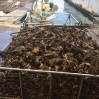 産地直送の牡蠣 無料食べ放題