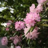 お隣のシャクナゲの花