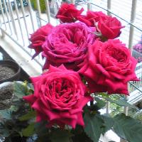 バラの花とからだとチャクラ