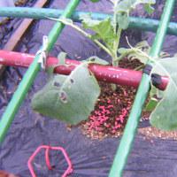ブロッコリー栽培2016年、害虫被害乗り越え頂花蕾収穫