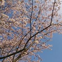 桜2017その6