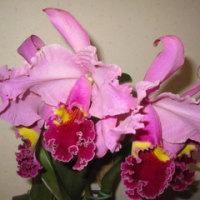 洋蘭の開花(Test)