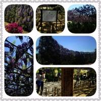 クラブツーリズム バスツアー 栃木県足利市 「あしかがフラワーパーク」 に行って来たわ~  携帯画像