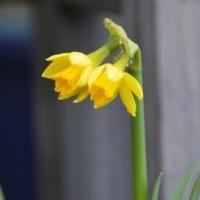 mini水仙・ティタテイトの花