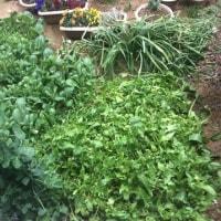 庭の小松菜とほうれん草