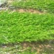 恵み野中央公園の「バイカモ(梅花藻)」,恵庭の花-12