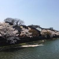 浅野川 主計町での花筏
