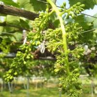 ブドウ農家大忙しです。