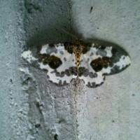 蝶と蛾は見分けるの難しい?どちらにしても可愛い柄のこみっけ♪