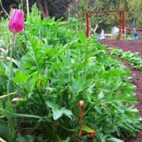 雨の朝の【有機肥料・ランドブレス】の畑