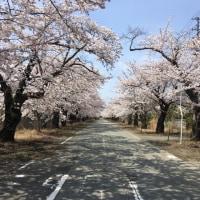 夜ノ森の桜