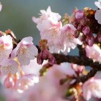 寒桜。。。。。。