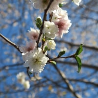 寒桜と今日の月