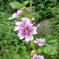 「おはようの花」 銭葵 (ぜにあおい) 6月