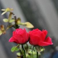 同じ薔薇を二枚並べてみました
