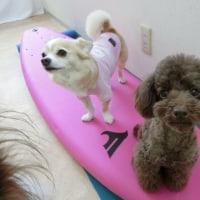 夏はもうすぐ!サーフィン練習〜♪  犬の幼稚園&躾教室@アロハドギー