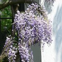 4/30 ☬ 勉強好きになる子 どんな子❔ ☬ ヒラドツツジ・フジの花
