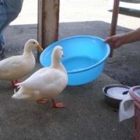 鶏の品評会№3