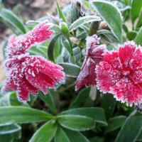 なでしこの花に霜