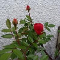 この季節に咲いています