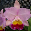 ●Rlc. Rie's Bond'Spring Breeze'