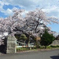 2017中学校の桜