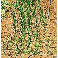 遅蒔き 玉ねぎ への 最終追肥 ( 肥料止め )