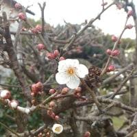 庭の白梅が咲き始めた