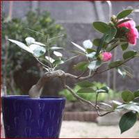 花・鉢植えのツバキ