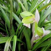 春蘭(しゅんらん)の花