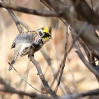 ミヤマホオジロ, Yellow-throated bunting