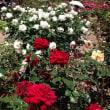 花フェスタ記念公園-バラ祭り-