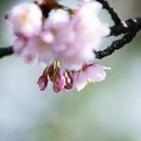 寒桜が、、咲いて、、。