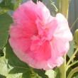 花のリレー タチアオイ