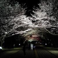 #桜#SAKURAの奥ゆかしい姿