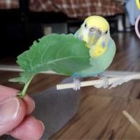 【758】自家製ブロッコリーをお食べっ!