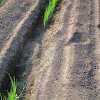 除草剤の効果確認