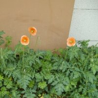 ホソミヒナゲシ:雑草