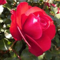 死と紅い薔薇