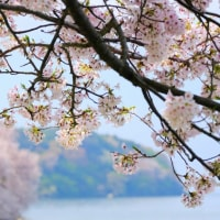 桜のトンネルへ-滋賀県近江八幡市:沖島