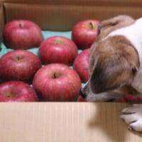 美味しい五輪久保のリンゴ